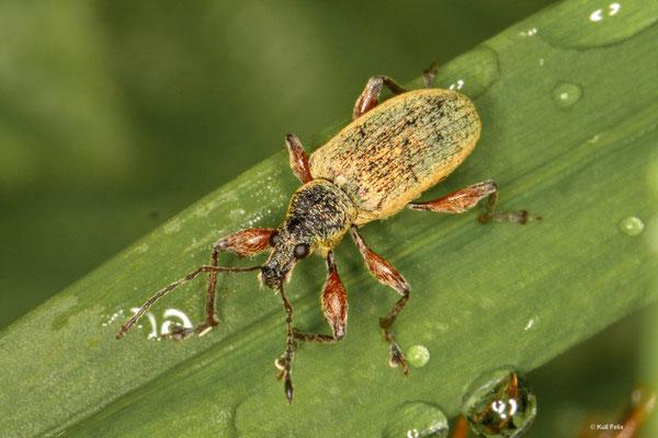 Phyllobius calceratus
