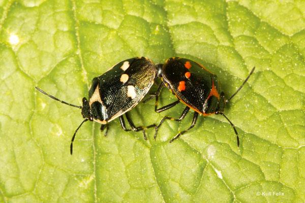 Kohlewanze Eyrydfema oleraceum