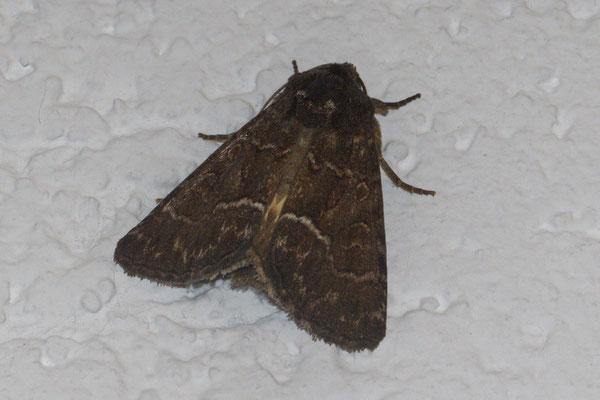 Gelbflügel-Raseneule Thalpophila matura