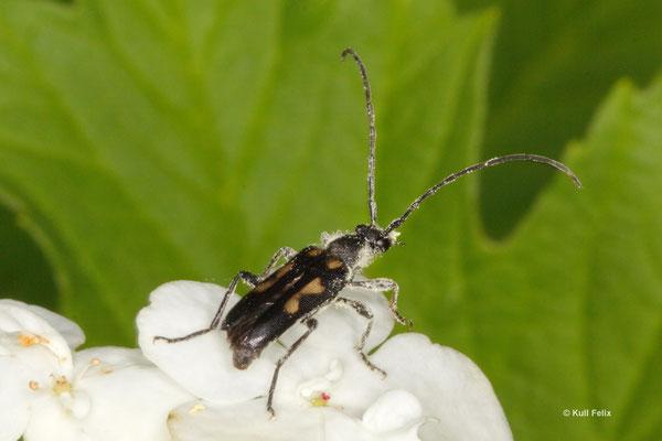 Gefleckter Halsbock Anoplodera sexguttata