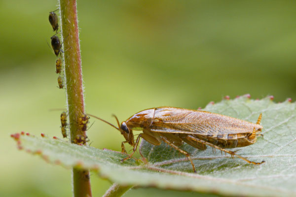 Bernsteinwaldschabe Ectobius vittiventris