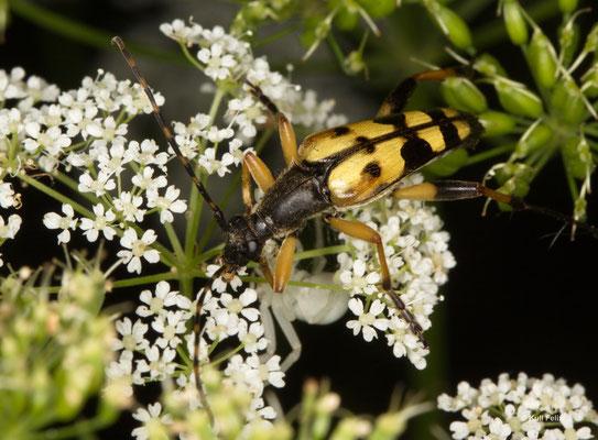 Gefleckter Schmalbock Rutpela Maculata