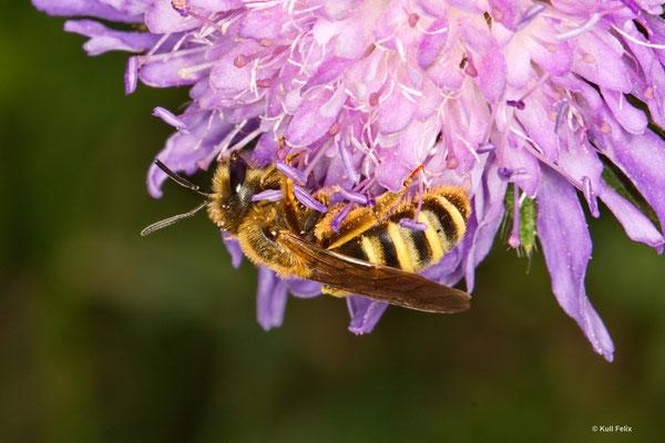 Gelbbindige Furchenbiene Halictus scabiosa