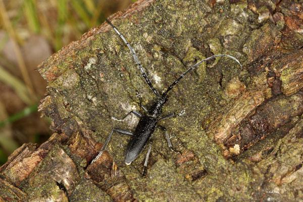 Kleiner Eichenbock Cerambyx scopolii