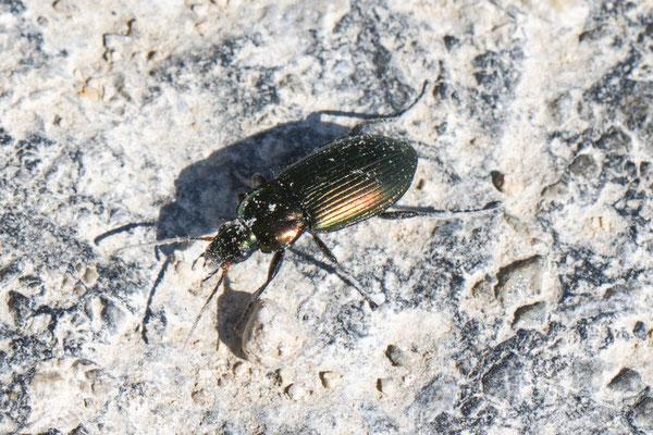 Kupferfarbener Buntgrabläufer Poecitus cupreus