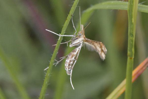 Hauhechel-Federmotte Marasmarcha lunaedactyla