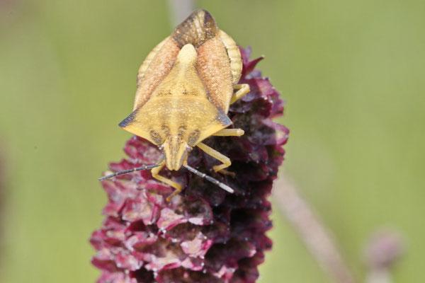 Nördliche Fruchtwanze Carpocoris fuscispinus