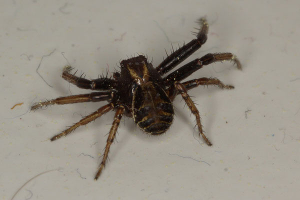 Braune Krabbenspinne Xysticus cristatus