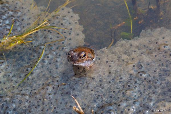 Grasfrosch Rana temporaria