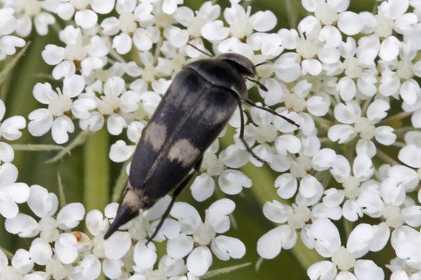 Gebändeter Stachelkäfer Variimorda villosa