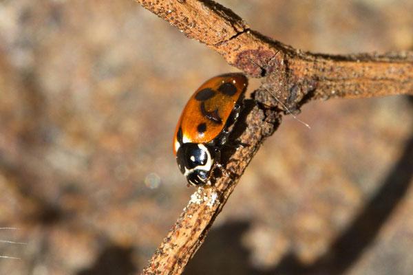 Variabler Flach-marienkäfer Hippodomia variegata