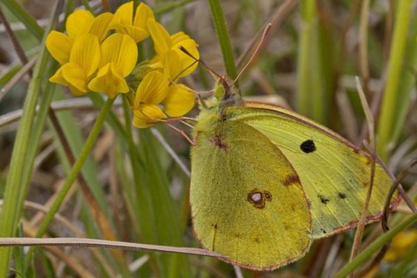 Gelbling sp Colias sp