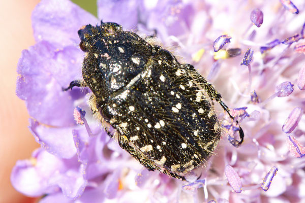Traerrosenkäfer Oxythyrea funesta