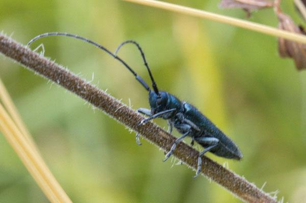 Langhaariger Schneckenbock Agapanthia interedia