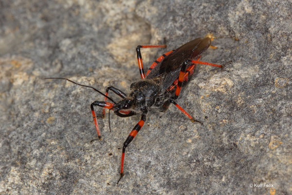 Geringelte Mordwanze Rhynocoris annulatus