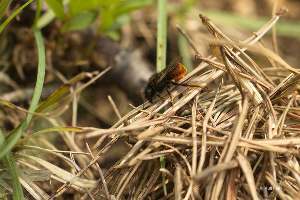 Zweifarbige Schneckenhausbiene Osmia bicolor