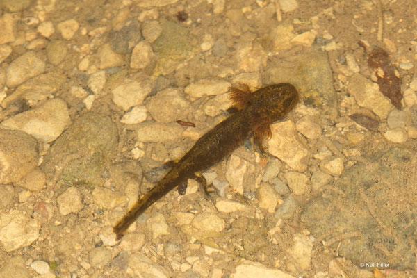 Feuersalamander Salamandra salamandra