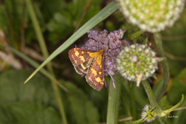 Purpurroter Zünsler_Pyrausta purpuralis