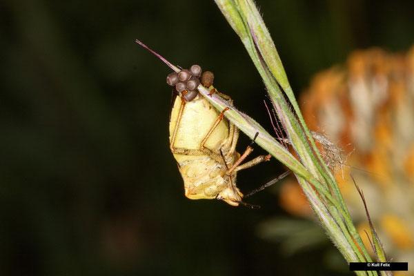 Beerenwanze Dolycoris baccarum