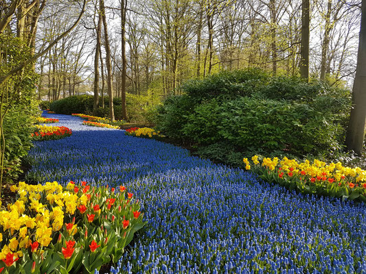 Muscari river at Keukenhof
