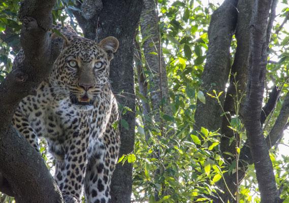 Prints und Leinwand der Tiere Afrikas