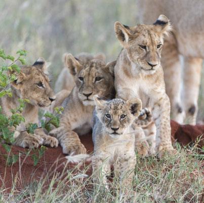Löwen Masai Mara Kenia, demipress Foto Frauenreisen