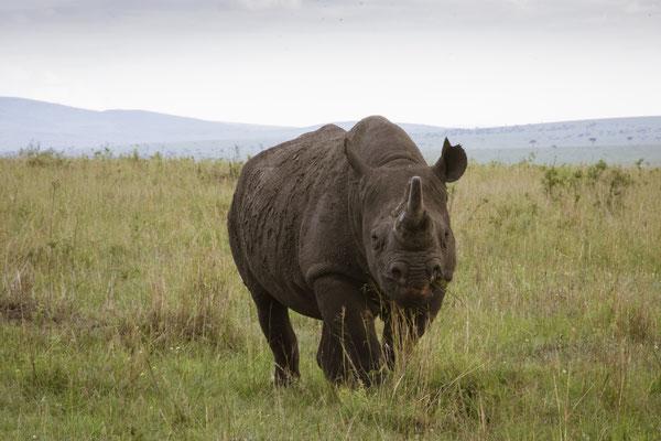 Nashorn Masai Mara, Kenia