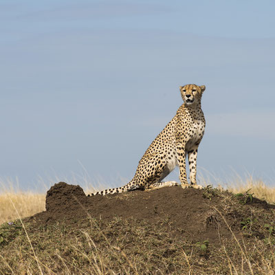 Gepard Masai Mara, Kenia