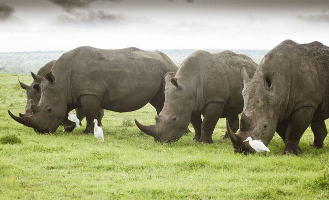 Nashörner in Solio Kenia