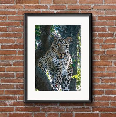 Mit dem Leoparden Auge um Auge