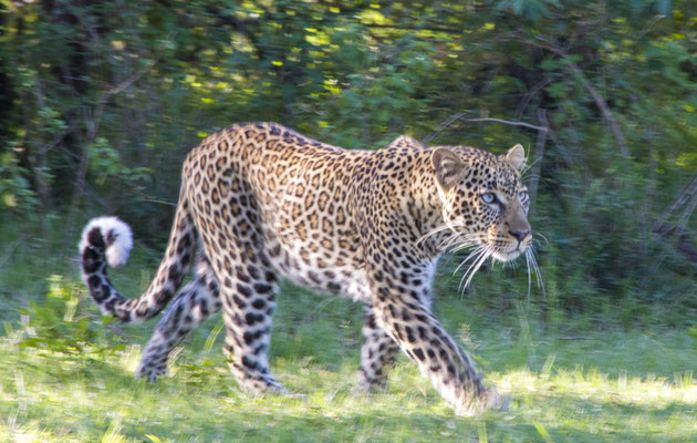 Leopard Masai Mara, demipress Foto Frauenreisen