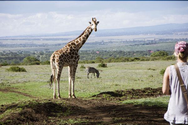 Giraffen Walk