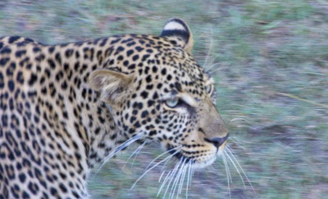 Leopard Masai Mara, Kenia