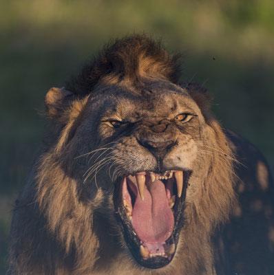 Löwe Masai Mara, demipress Foto Frauenreisen