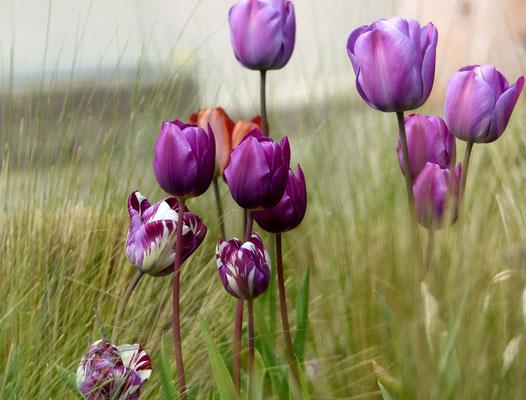 Mittlere Triumph-Tulpe 'Rems Favourite': auffallend violett, weiß geflammt