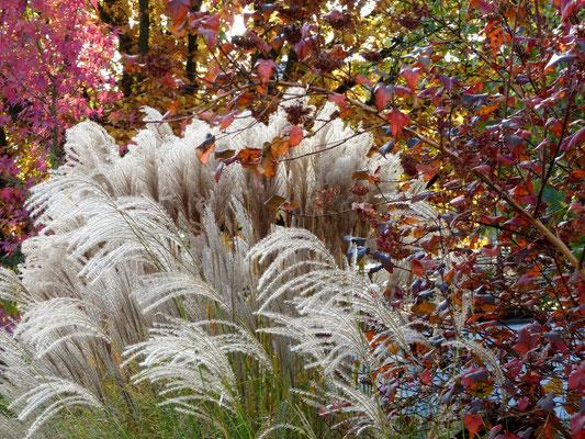 Amberbaum (hinten Liquidambar styraciflua 'Worplesdon' ) mit Chinaschilf ( Miscanthus sinensis Malepratus und Kleine Fontäne) und roter Blasenspiere  (rechts, Physocarpus opulifolius 'Diabolo)