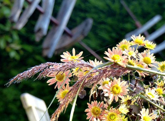 Dezente Fargenspiel: Goldbartgras (Sorghastrum nutans = Chrysopogon nutans) und winterharte Chrysantheme Apricot