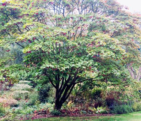 Jap. Fächerahorn Aceer palmatum Osakazuki