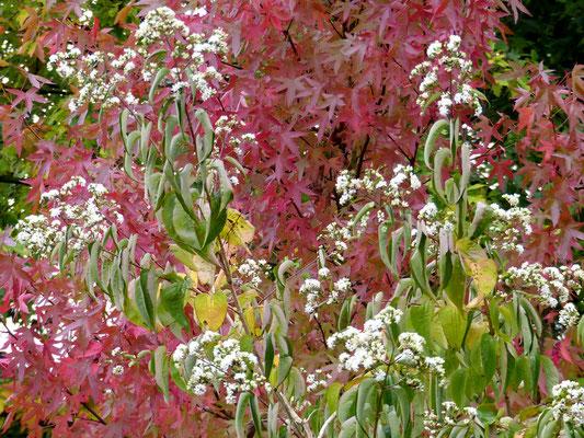 Amberbaum  (Liquidambar styraciflua 'Worplesdon') und Sieben-Söhne-des-Himmels-Baum (Heptacodium miconioides)