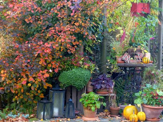 Herbstlaub von lila bis orange des Perückenstrauchs (Cotinus coggygria 'Royal Purple')
