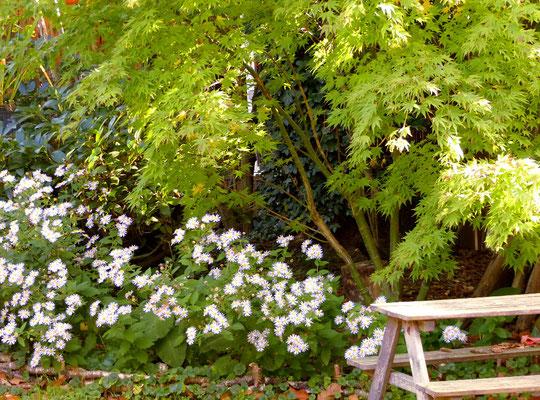 Wildaster  (Aster ageratoides 'Asran' -) unter gelbem, japanischen Fächerahorn (Acer palmatum 'Orange Dream')