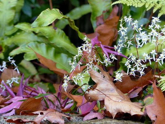 Herbst-Steinbrech  (Saxifraga cortusifolia var. fortunei Wada ) und Hirschzungenfarn (Phyllitis scolopendrium = Asplenium scolopendrium)
