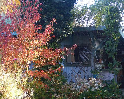 Feuerrotes Herbstlaub der Scheinkamelie oder auch Stewartie (Stewartia pseudocamellia)