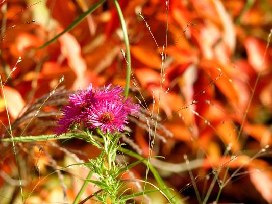 Pinke Raublatt-Aster (Aster novae-angliae 'Alma Pötschke' ) vor zinnoberroter Stewartie = Scheinkamelie (Stewartia pseudocamellia)