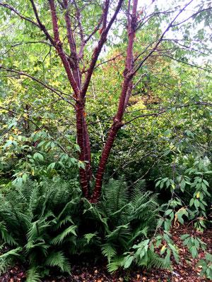 Mahagonikrische Prunus serrlua