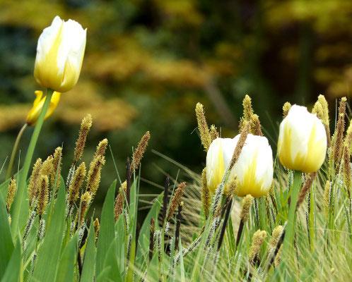 Tulipa 'Sweetheart' - Fosteriana-Tulpe: herrlich große Kelche, einfach, weiß, gelb geflammt