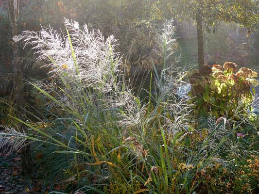 Morgentau benetzte, blaue Rutenhirse (Panicum virgatum 'Dallas Blues' ) im Frühnebel - glitzern wie Diamanten im Garten