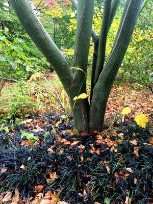 Schlangenhaut-Ahorn Acer capillipes oder davidii