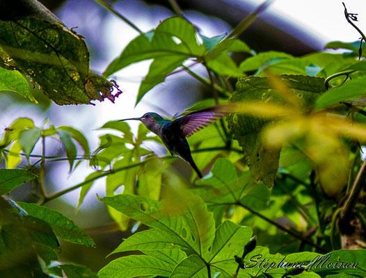 birdwatching panama colibri