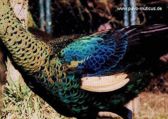 Nahaufnahme von den Flügeldecken und der unteren Halspartie. Die Farbe auf den  Flügeldeckfedern beschränkt sich auf einen schmalen blauen Aussenrand. Der Hals  zeigt sich bei dieser Unterart mehr goldfarben bis kupfrig.